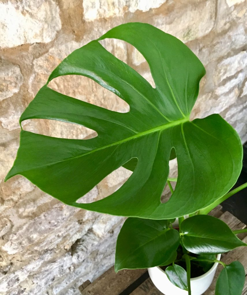 Monstera leaf close up detail.