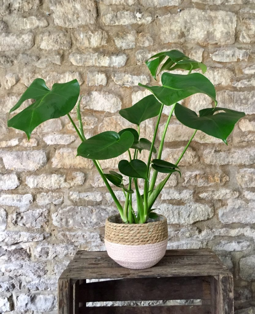 Monstera Plant in a pink and natural woven sisal basket for delivery.